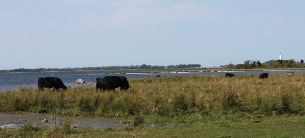 Wilde Kühe Strand Öland