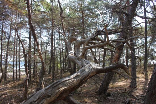 Der Trollwald auf Öland – ein uriges Paradies an der Ostsee